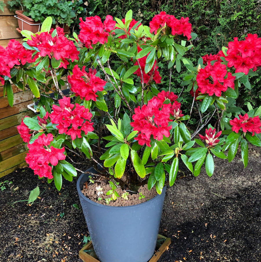 Fertilisant naturel rhododendron